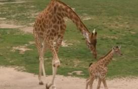 Twiga, Bayi Jerapah Imut dari Kebun Binatang Belgia