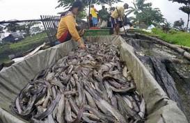 Jelang Inspeksi UE, Pengusaha Catfish Segera Konsolidasikan Data