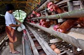 Peternak Kecil Gulung Tikar Picu Kenaikan Harga Telur di Boyolali