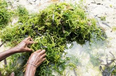 Tergerus Pariwisata, Pertanian Rumput Laut di Nusa Penida Makin Sulit Dikembangkan