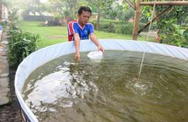 Mataram Kembangkan Budi Daya Udang Vaname Metode Bioflok