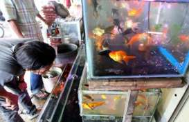 BKIPM Semarang Rangkul Pedagang Ikan Hias