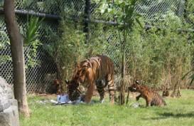Imutnya Tingkah Tiga Anak Harimau Kembar Ini saat Memakan Daging untuk Pertama Kalinya