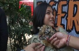 Ini Nama 3 Anak Harimau Koleksi Kebun Binatang Mangkang