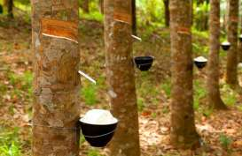 Penyakit Gugur Daun Ancam Perkebunan Karet Indonesia