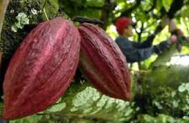 Sulawesi Tenggara Dijadikan Kawasan Kakao Berbasis Korporasi