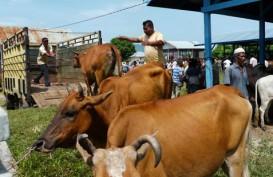 Idul Adha, Bali Sudah Kirim Sapi Kurban 97% Dari Kuota