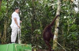 Pupuk Kaltim Bersama Balai Taman Nasional Kutai dan BKSDA Lepasliarkan Orang Utan