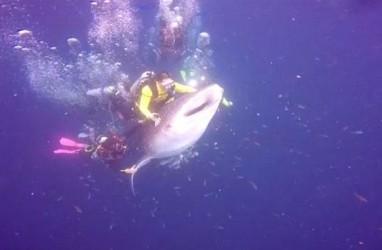 Video Penyelam Tunggangi Hiu Paus Viral, Ini Aturan yang Benar