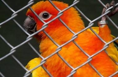Penangkar Burung Kicau Keberatan Peraturan Menteri KLH Terbaru