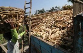 Stok Petani Jagung di Malut Melimpah Akibat Tak Terjual