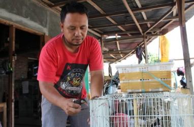 Penangkar Murai, Cucak Rawa & Jalak di Klaten Resah