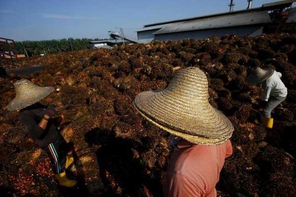 Ilustrasi kelapa sawit. Palm oil merupakan salah satu garapan PT Austindo Nusantara Jaya Tbk. - Reuters/Samsul Said