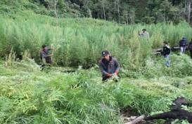Polres Aceh Besar Menemukan Ladang 15.000 Batang Ganja