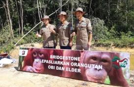 Orang Utan Adopsi PT Bridgestone Tire Indonesia Siap Kembali ke Habitat Aslinya