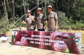 Orang Utan Adopsi PT Bridgestone Tire Indonesia Siap…
