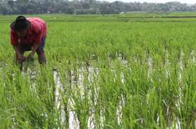 Tingkatkan Produksi Beras, Bali Andalkan Padi Hibrida