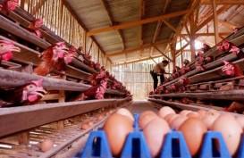Peternak Afkir Dini 33 Juta Ekor Ayam Petelur pada Oktober