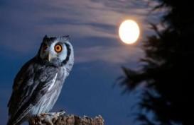 Burung Hantu, Hewan Kecil yang Suka Berpoligami