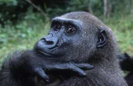 Data Simpang Siur, Jumlah Gorila di Dunia Semakin Menurun