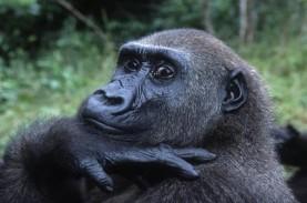 Data Simpang Siur, Jumlah Gorila di Dunia Semakin…
