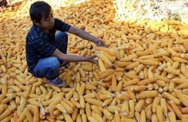 Distribusi Jagung Impor Khusus untuk Jawa