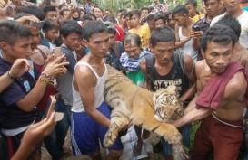 Harimau Nyasar ke Pasar di Indragiri Hilir, Terjebak di Sela Ruko