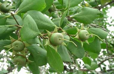 Musi Banyuasin Olah Buah Mangrove dan Sabut Kelapa