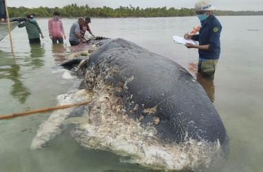 Paus Terdampar Telan 6 Kg Sampah Plastik, Penyebab Kematian belum Tentu Sampah