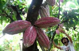 Kakao Konawe Utara Nantikan Realisasi Investasi Kalla Group