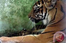 "FELINE FEEDING: Yuk, Bertualang Memberi Makan ""Kucing Besar"" di Taman Safari Indonesia"