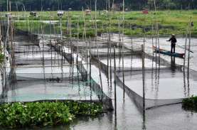 Pengurangan KJA Diklaim Turunkan Produksi Ikan Air…