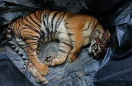 Petugas BKSDA Tangkap Pemburu Harimau Sumatera