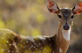 """Bunuh Ratusan Rusa, Pemburu Gelap di AS Dihukum Menonton Film """"Bambi"""""""