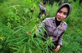 Thailand Legalkan Ganja untuk Medis