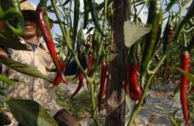 Aceh Jaya Kembangkan Cabai Merah Sebagai Komoditas Unggulan