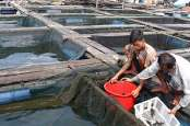 Perusda Konawe Selatan Pasok Bibit Kerapu ke Nelayan Kolono Timor