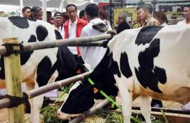 SEKTOR PETERNAKAN : Usaha Sapi Potong (Belum) Kondusif?