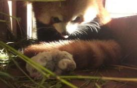 Panda Merah Lahir di Taman Safari, Siti Nurbaya Ikut Bahagia