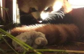 Xing Xing-Bai Bai, Pasangan Panda Merah Taman Safari Lahirkan Seekor Anak