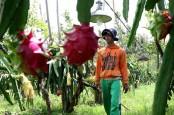Buah Naga Banyuwangi Dapat Kontrak Pembelian 150 Ton dari Jakarta