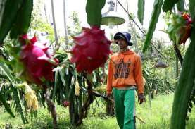 Buah Naga Banyuwangi Dapat Kontrak Pembelian 150 Ton…