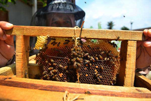 Petani Dede Yanti memanen madu lebah di halaman rumahnya Kampung Pangkalan, Kota Tasikmalaya, Jawa Barat, Kamis (10/1/2019). - ANTARA/Adeng Bustomi