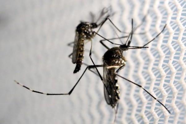 Nyamuk Aedes aegypti di Laboratorium Oxitec di Campinas, Brasil (2/2/2016). Virus Zika menular melalui gigitan nyamuk Aedes.  - Reuters
