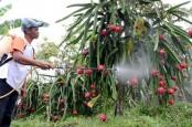 Harga Buah Naga di Probolinggo 'Tak Meriah' Menjelang Imlek