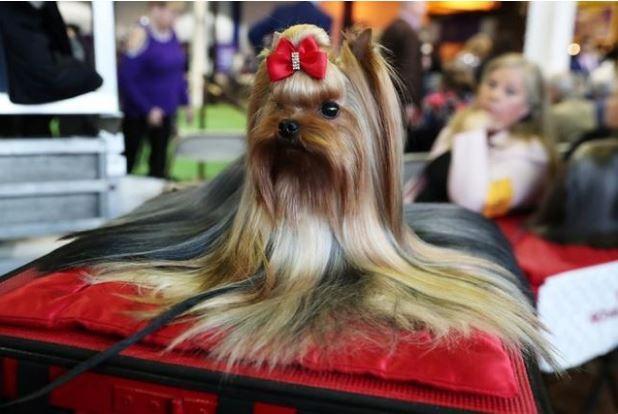 Pip, Jenis Yorkshire Terrier duduk dalam Pameran Anjing Westminster Kennel Club tahunan dibuka kembali di New York pada hari Senin (11/2/2019) - Shannon Stapleton / Reuters