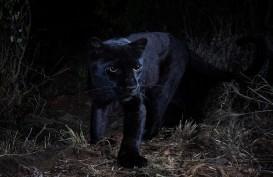 Black Panther Langka Terlihat di Kenya Setelah 100 Tahun