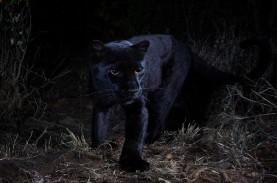 Black Panther Langka Terlihat di Kenya Setelah 100…