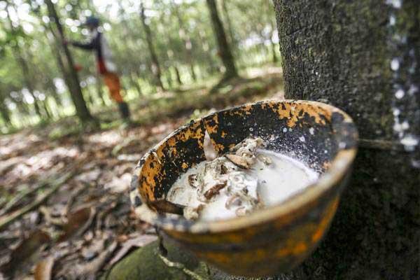 Petani memanen getah karet di Banyuasin, Sumatra Selatan, Selasa (8/1/2019). - Antara/Nova Wahyudi