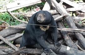 Ini Tips Jika Ingin Jumpa Beruang Madu di Balikpapan